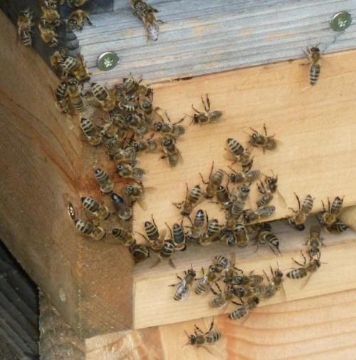Bienen in Wukania